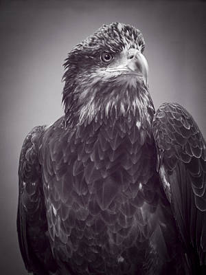 Bad Feather Day For Young Bald Eagle Bw Original by F Leblanc