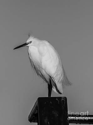 White Egret Photograph - Bad Hair Day by David Millenheft