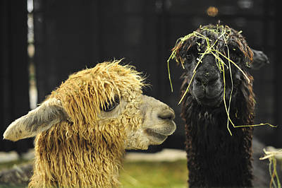 Photograph - Bad Hair Day Farm Show Harrisburg Pa by Terry DeLuco