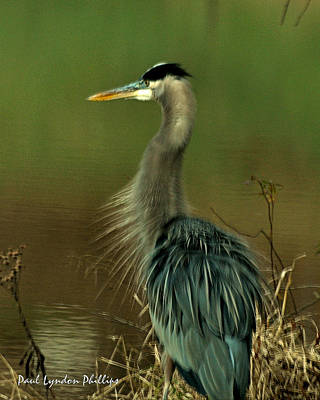 Bad Hair Day Heron Art Print