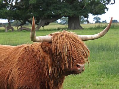 Photograph - Bad Hair Day - Highland Cow by Gill Billington