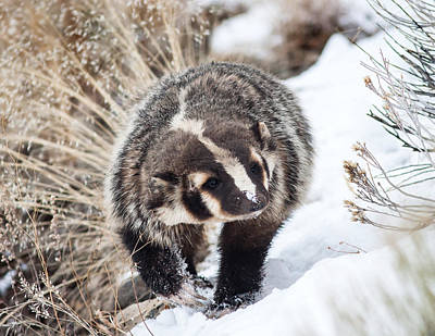 Photograph - Badger In The Snow by Jack Bell