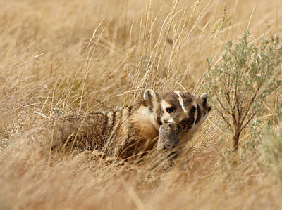 Photograph - Badger With Prey by Jeremy Farnsworth