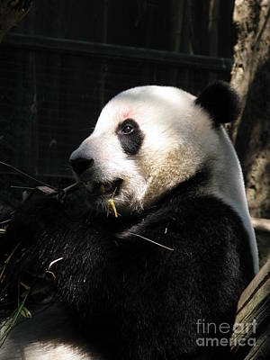 Photograph - Bai Yun Mamma Bear Snacking by Ausra Huntington nee Paulauskaite
