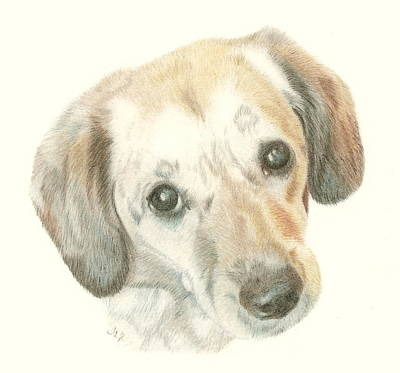 Drawing - Bailey by Jennie  Richards