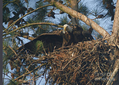 Photograph - Bald Eagle And Young 2 by Sandra Clark