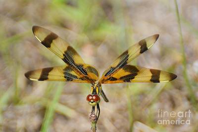 Celithemis Eponina Photograph - Balanced In The Wind by Don Columbus