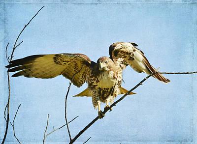 Red Tail Hawk Photograph - Balancing Act 4 by Fraida Gutovich