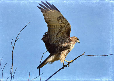 Red Tail Hawks Photograph - Balancing Act by Fraida Gutovich