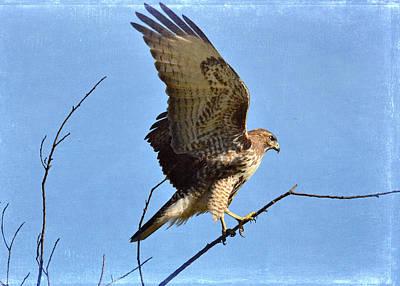 Red Tail Hawk Photograph - Balancing Act by Fraida Gutovich