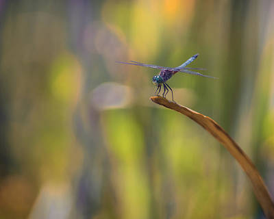 Dragonflys Photograph - Balancing Act by Larry Helms