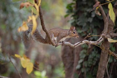 Photograph - Balancing Act - Squirrel by RD Erickson