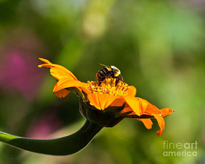 Photograph - Balancing Bumblebee by Ms Judi