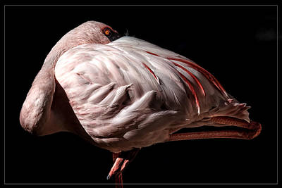 Photograph - Balancing Flamingo by Wes and Dotty Weber
