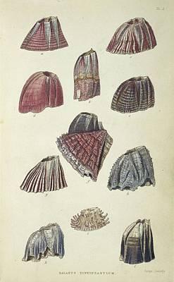 Barnacles Wall Art - Photograph - Balanidae Barnacles by Natural History Museum, London/science Photo Library