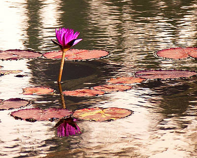 Photograph - Balboa Park Water Lily by John Noel
