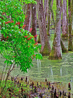 Bald Cypress And Red Buckeye Tree At Mile 122 Of Natchez Trace Parkway-mississippi Print by Ruth Hager