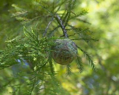 Photograph - Bald Cypress Cone And Foliage by MM Anderson