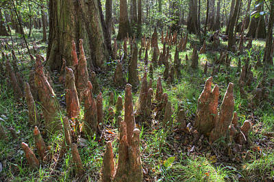 Photograph - Bald Cypress Knees In Congaree National Park by Pierre Leclerc Photography