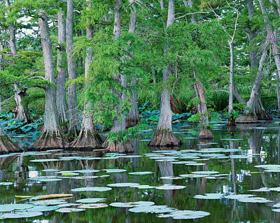 Photograph - Bald Cypress Trees by Byron Jorjorian