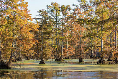 Bald Cypress Trees In Swamp, Horseshoe Art Print by Panoramic Images