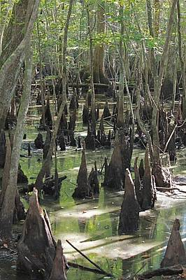 Photograph - Bald Cypress Trees by Jeanne Kay Juhos