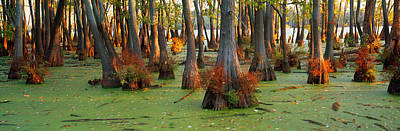 Bald Cypress Trees Taxodium Disitchum Art Print by Panoramic Images