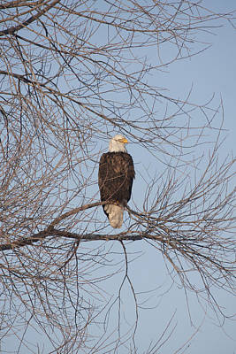 Photograph - Bald Eagle - 0280 by S and S Photo
