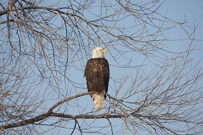Photograph - Bald Eagle - 0281 by S and S Photo