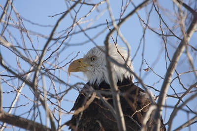 Photograph - Bald Eagle - 0282 by S and S Photo
