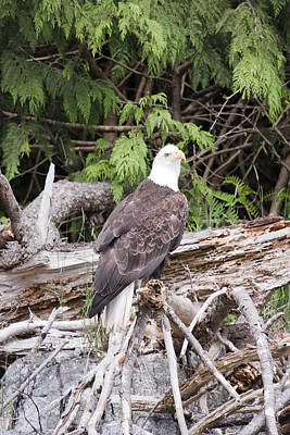 Photograph - Bald Eagle - 0284 by S and S Photo