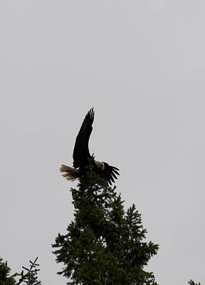 Photograph - Bald Eagle - 0288 by S and S Photo