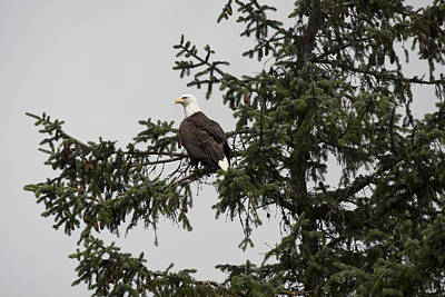 Photograph - Bald Eagle - 0291 by S and S Photo