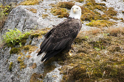 Photograph - Bald Eagle - 0300 by S and S Photo