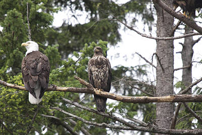 Photograph - Bald Eagle - Immature And Adult - 0025 by S and S Photo