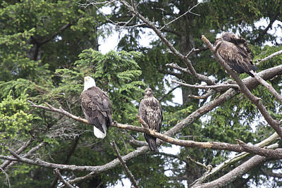 Photograph - Bald Eagle - Immature And Adult - 0026 by S and S Photo