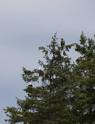 Photograph - Bald Eagle - Immature And Adult - 0027 by S and S Photo