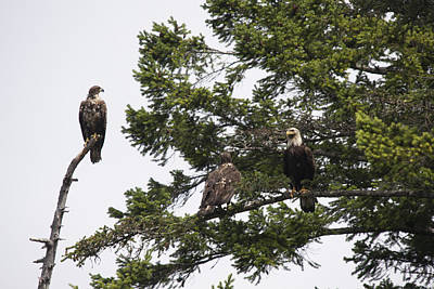 Photograph - Bald Eagle - Immature And Adult - 0028 by S and S Photo