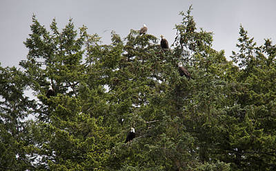 Photograph - Bald Eagle - Immature And Adult - 0029 by S and S Photo