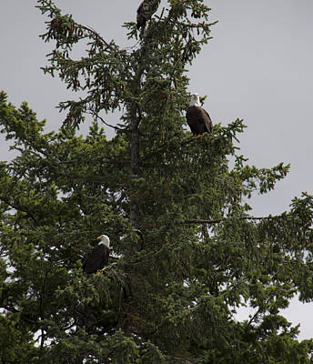 Photograph - Bald Eagle - Immature And Adult - 0031 by S and S Photo