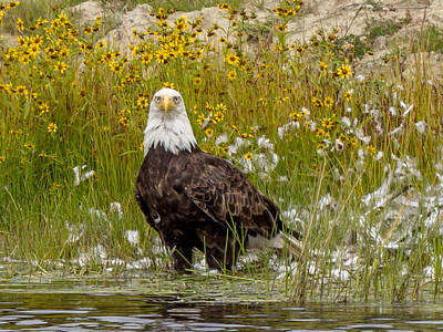 Art Print featuring the photograph Bald Eagle @ Lunch  by Trace Kittrell