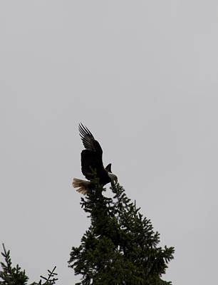 Photograph - Bald Eagle - 0289 by S and S Photo
