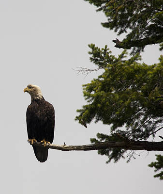 Photograph - Bald Eagle - 0290 by S and S Photo