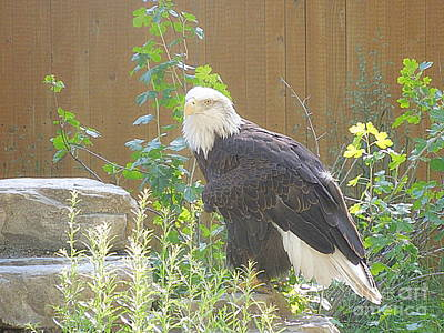 Photograph - Bald Eagle 1 by Richard W Linford