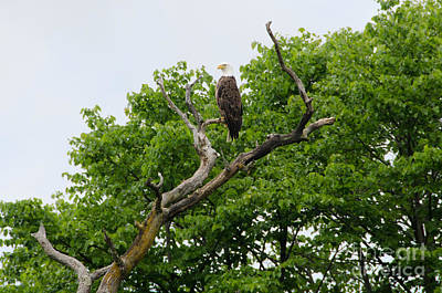 Photograph - Bald Eagle 2 by Cassie Marie Photography