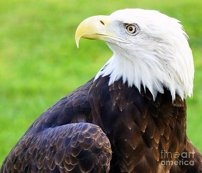 Photograph - Bald Eagle 2 by Rachel Munoz Striggow