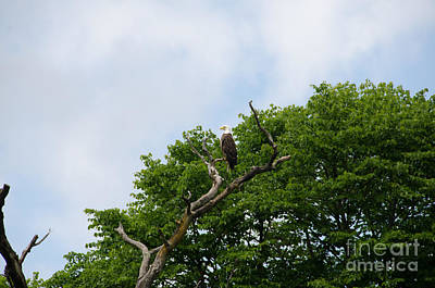 Photograph - Bald Eagle 3 by Cassie Marie Photography