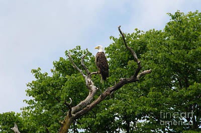 Photograph - Bald Eagle 4 by Cassie Marie Photography