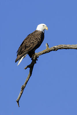 Photograph - Bald Eagle 4 by David Lester
