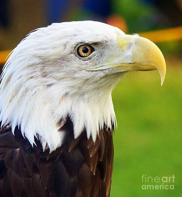 Photograph - Bald Eagle 4 by Rachel Munoz Striggow